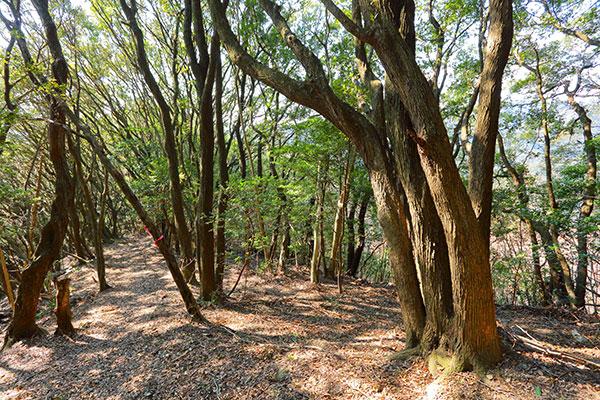 紀州田辺梅林の自然林